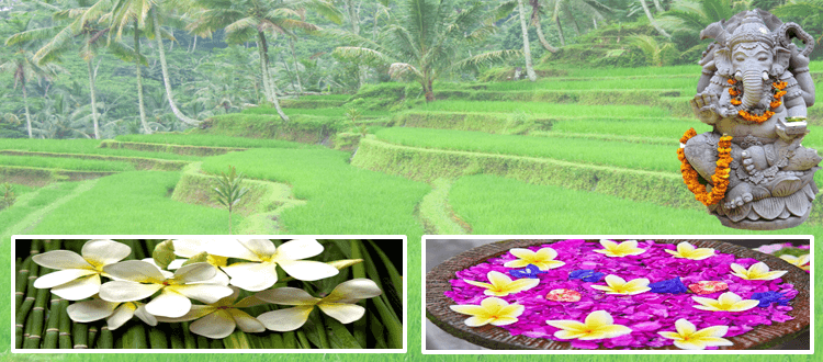 Ricefields in Ubud at Living the Law of Attraction unique Bali retreat